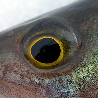 Närbild på abborrens svartgula öga