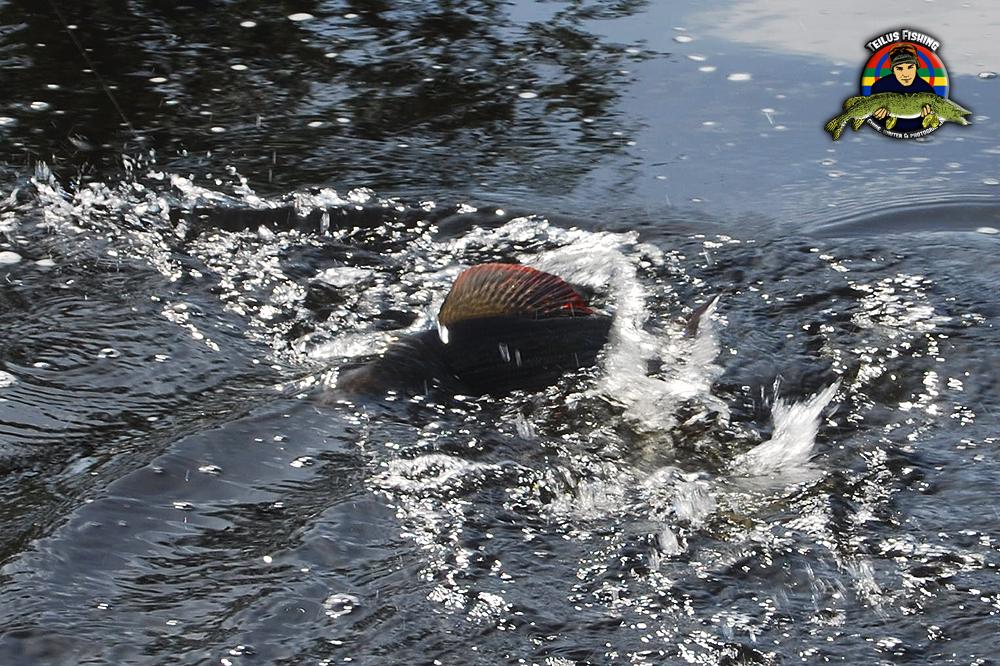 Harr som bryter vattenytan med sitt segel